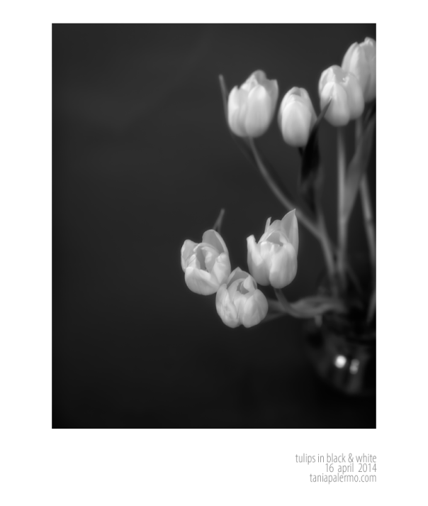 TulipsBlackWhite16April2014©TaniaPalermo-