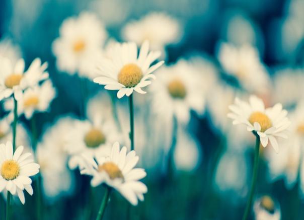 daisy10by7.25-1681